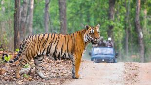 Tygrysica miała zabić 13 osób. Zastrzelili ją po dwóch latach
