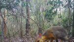 Myszo-jelenie w wietnamskim lesie (Global Wildlife Conservation)
