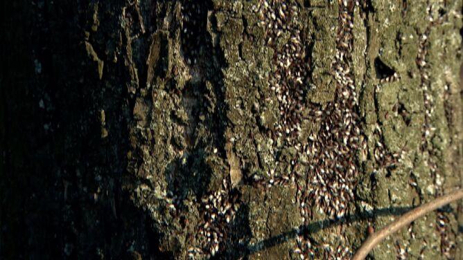 Kłębią się na drzewach. <br />Śródziemnomorski owad w Poznaniu