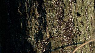 Kłębią się na drzewach. Śródziemnomorski owad w Poznaniu