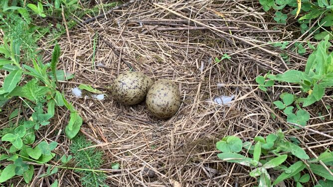 Jaja mewy siwej (Shutterstock)