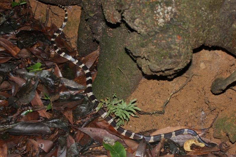 Niemrawiec prążkowany (Thomas Brown/Wikipedia - CC BY 2.0)